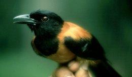 The Hooded Pitohui, one of the world's only toxic birds.