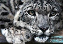 Snow Leopard, Semenovkavillage.