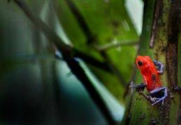 Strawberry Poison-Dart Frog rescues itsTadpole.