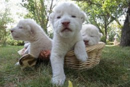 We will all be Big Growly White Lions oneday.