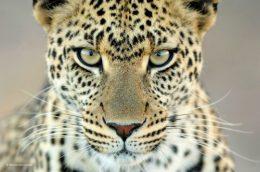 'Leopard Gaze' Serengetti Park,Tanzania.