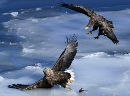 Sea Eagles spend Winter in Vladivostok.