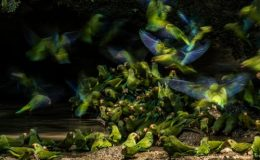 Cobalt-winged Parakeets by Gertsman.