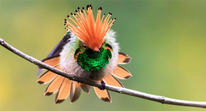 Rufous-crested Coquette. | THE OLD GUV LEGENDS