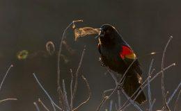 Red Winged Blackbird,Virginia.