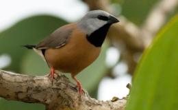 Black-throated finch wins Aussie bird of theyear.